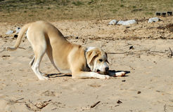 Dog Playing On Beach Stock Photo
