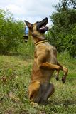 Portrait of a Malinois dog playing in the park. Dog Playing Outdoors. Full-length shot of a dog playing. Malinois Dog playing. Portrait of a Malinois dog Royalty Free Stock Photos
