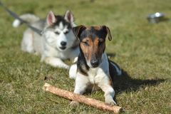 Dog`s playground, sunny and warm spring day. Dog is playing outdoors, short hair fox terrier , brown and white color, happy and friendly royalty free stock photo