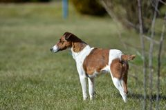 Dog`s playground, sunny and warm spring day. Dog is playing outdoors, short hair fox terrier , brown and white color, happy and friendly royalty free stock photography
