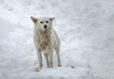 A dog  playing outside in cold winter snow. Stock Photo