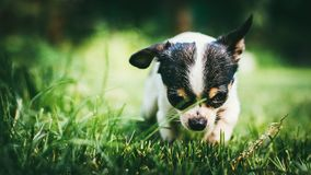 Dog playing outside on the grass spring lawn. Selective focus bokeh background Royalty Free Stock Photo