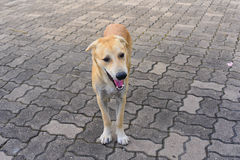 Dog playing outside smiles. A dog playing outside smiles Royalty Free Stock Images