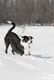 Dog playing outside in white snow Royalty Free Stock Photography