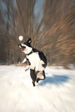 Dog playing outside in white snow Royalty Free Stock Image