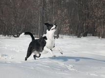 Dog playing outside in white snow Royalty Free Stock Photos