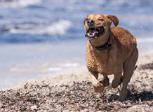 Dog playing Royalty Free Stock Images