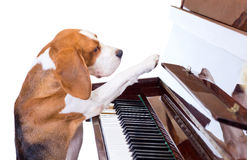 Dog playing the piano. Royalty Free Stock Photos
