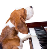Dog playing the piano. Royalty Free Stock Photo