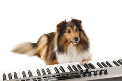Dog playing the piano Stock Photo