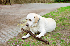 Dog playing with a piece of wood Royalty Free Stock Photo