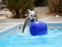Dog playing in the pool with her ball. A dog playing on the steps of the pool with her ball stock photos