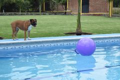 Dog watching the ball Royalty Free Stock Photos
