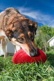 Dog Playing With Red Flying Disc. A close up photo of a dog playing with a red flying disc against a blue sky and green grass Stock Image