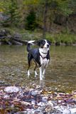Dog playing in the river of Hölletal, Austria royalty free stock photo