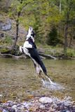 Dog playing in the river stock image