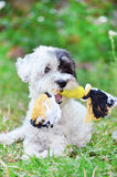Dog playing with rope toy Royalty Free Stock Images
