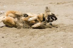 Dog Playing in the Sand Stock Image