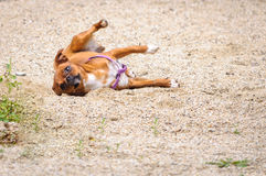 Dog playing sand Stock Photos