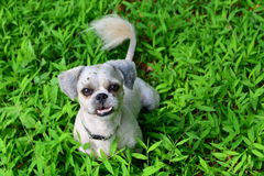 Dog playing and smiles on green grass Stock Photo