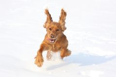 Dog playing in the snow. English cocker spaniel dog playing in the snow Stock Images