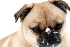 Dog Playing in the Snow. This image was taken during a recent snowfall Stock Image