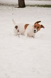 A dog playing in the snow Royalty Free Stock Photography