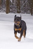 Dog playing in snow. Rottweiler playing and running through the snow Stock Images