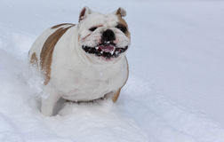 Dog playing in the snow Stock Photography