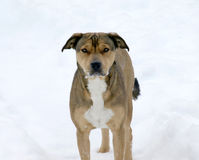 Dog playing in the snow. Cute dog playing in the snow Stock Photos
