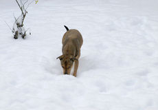 Dog playing in the snow. Cute dog playing in the snow Stock Photo