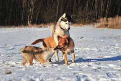 Dog playing in snow. 2 dogs an  american collie pup playing in the snow Stock Photo