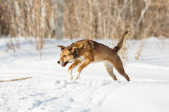 Dog playing in the snow. Stock Photo