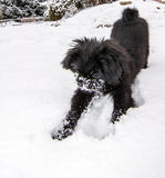 Dog playing in the snow. Picture shows a Pekinese Dog playing in the snow Stock Photos