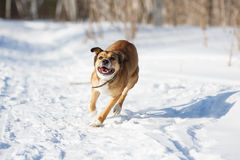 Dog playing in the snow. Royalty Free Stock Photography