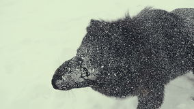 Dog playing in the snow. Winter. stock footage