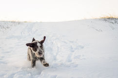 Dog playing in snow. Winter scenery of a big dog running and playing in snow Stock Photos