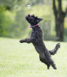 Dog playing with soap bubbles Royalty Free Stock Image