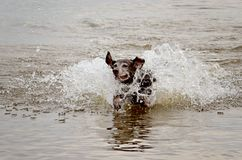 Dog playing in the sound royalty free stock photography