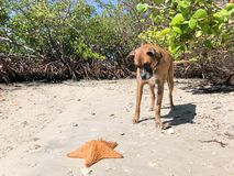 Boxer dog and a starfish on the beach. Dog playing with starfish cushion sea Star on the sand stock photos