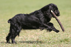 Dog is playing with stick. Black english cocker spaniel is playing with stick Royalty Free Stock Images