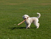 Dog Playing with Stick. Shaggy white Dog Playing with Stick on green grass in park stock photo