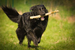 Playing Dog Royalty Free Stock Image