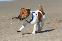Dog playing with stick. Jack Russell Terrier playing with stick on beach stock image