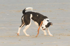 Dog playing with a stick on the beach Stock Photo