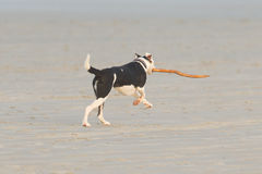 Dog playing with a stick on the beach Stock Image