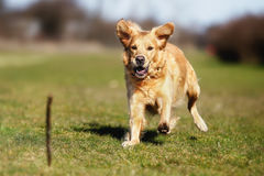 Dog playing with a stick Stock Photography