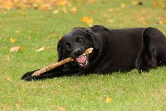 Dog playing with a stick Stock Image