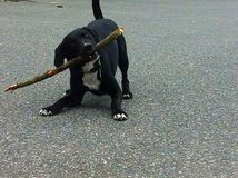 Dog playing with stick. Black dog playing with stick on pavement. White paws white front. Tail up cute energetic pup Stock Photos