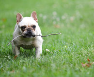 Dog playing with stick Royalty Free Stock Image